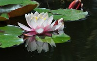 Water lily [6] wallpaper 1920x1200 jpg