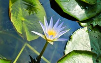 Water Lily [10] wallpaper 2560x1600 jpg