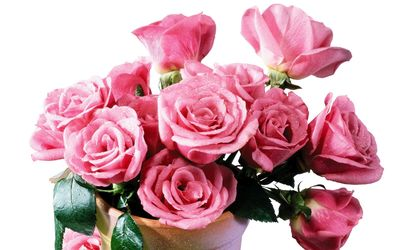 Wet pink roses in the vase wallpaper