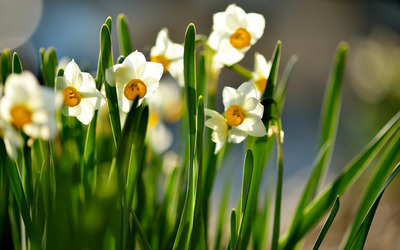 White and orange daffodils wallpaper