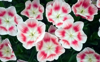 White and pink blossoms wallpaper 2560x1600 jpg