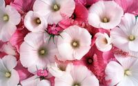 White and pink hollyhocks wallpaper 1920x1200 jpg
