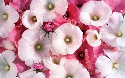 White and pink hollyhocks wallpaper