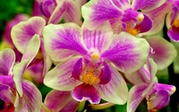 White and purple orchids wallpaper 1920x1200 jpg