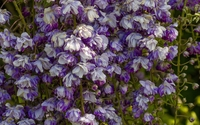 White and purple wisterias wallpaper 1920x1200 jpg