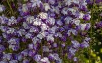 White and purple wisterias wallpaper 1920x1200 jpg