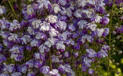 White and purple wisterias wallpaper