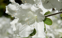 White Azalea wallpaper 1920x1200 jpg