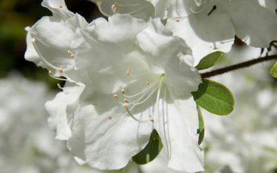 White Azalea wallpaper
