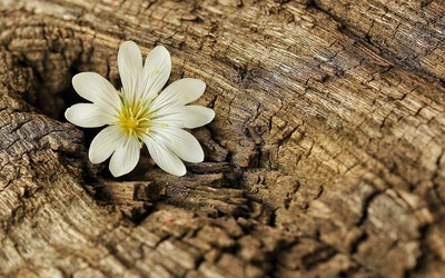 White blossom on a tree log wallpaper