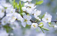White blossoms [2] wallpaper 3840x2160 jpg