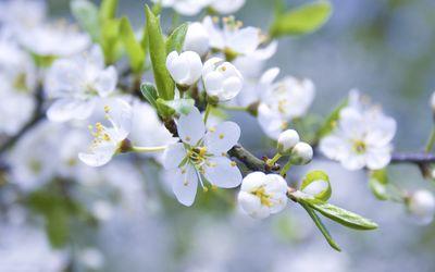 White blossoms [2] wallpaper