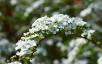 White blossoms [9] wallpaper 2880x1800 jpg