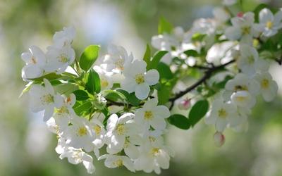 White blossoms [5] Wallpaper