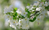 White blossoms wallpaper 1920x1200 jpg