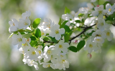 White blossoms wallpaper