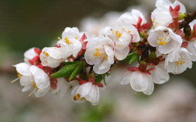 White blossoms [3] wallpaper