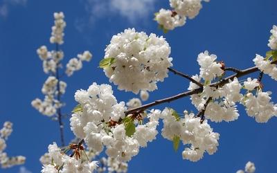 White blossoms [7] wallpaper