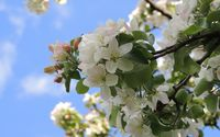 White blossoms [14] wallpaper 2560x1600 jpg
