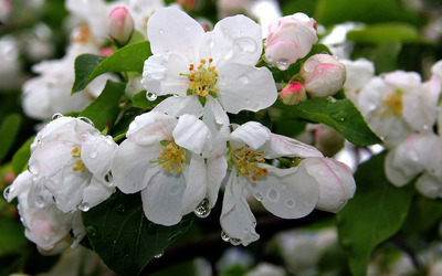White blossoms with water drops wallpaper