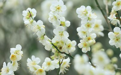 White cherry blossom wallpaper