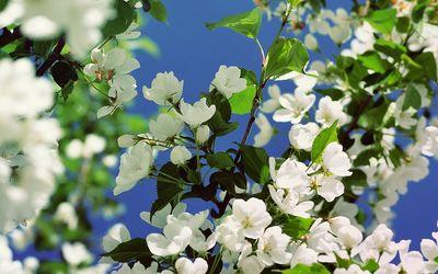 White cherry blossoms [2] wallpaper