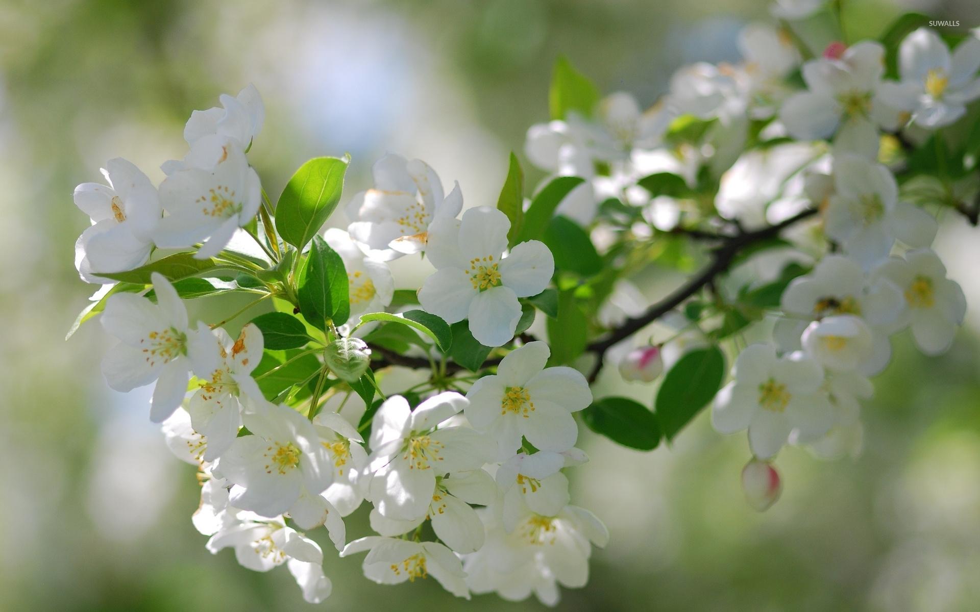 White cherry blossoms wallpaper - Flower wallpapers - #36554
