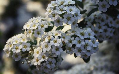 White cherry blossoms [3] wallpaper