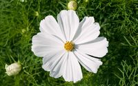 White cosmos [2] wallpaper 3840x2160 jpg