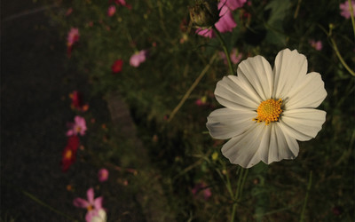White cosmos flower wallpaper