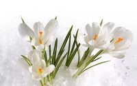 White crocus [3] wallpaper 2560x1600 jpg