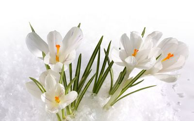 White crocus [3] wallpaper