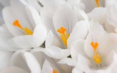 White crocus wallpaper