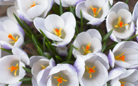 White crocus wallpaper 1920x1200 jpg
