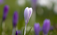 White Crocus [2] wallpaper 1920x1200 jpg
