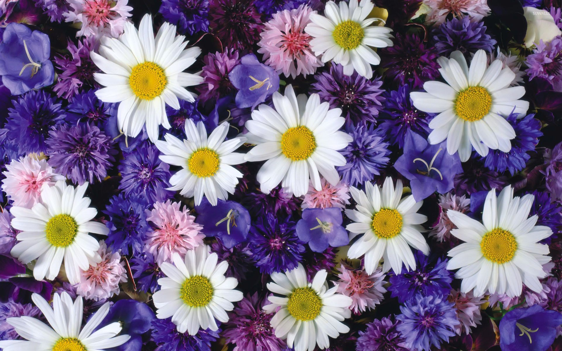 White Daisies Between The Purple Flowers Wallpaper Flower