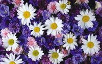 White daisies between the purple flowers wallpaper 1920x1200 jpg