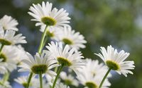 White daisies in the sunshine wallpaper 3840x2160 jpg