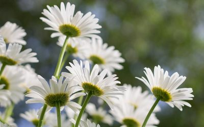 White daisies in the sunshine wallpaper