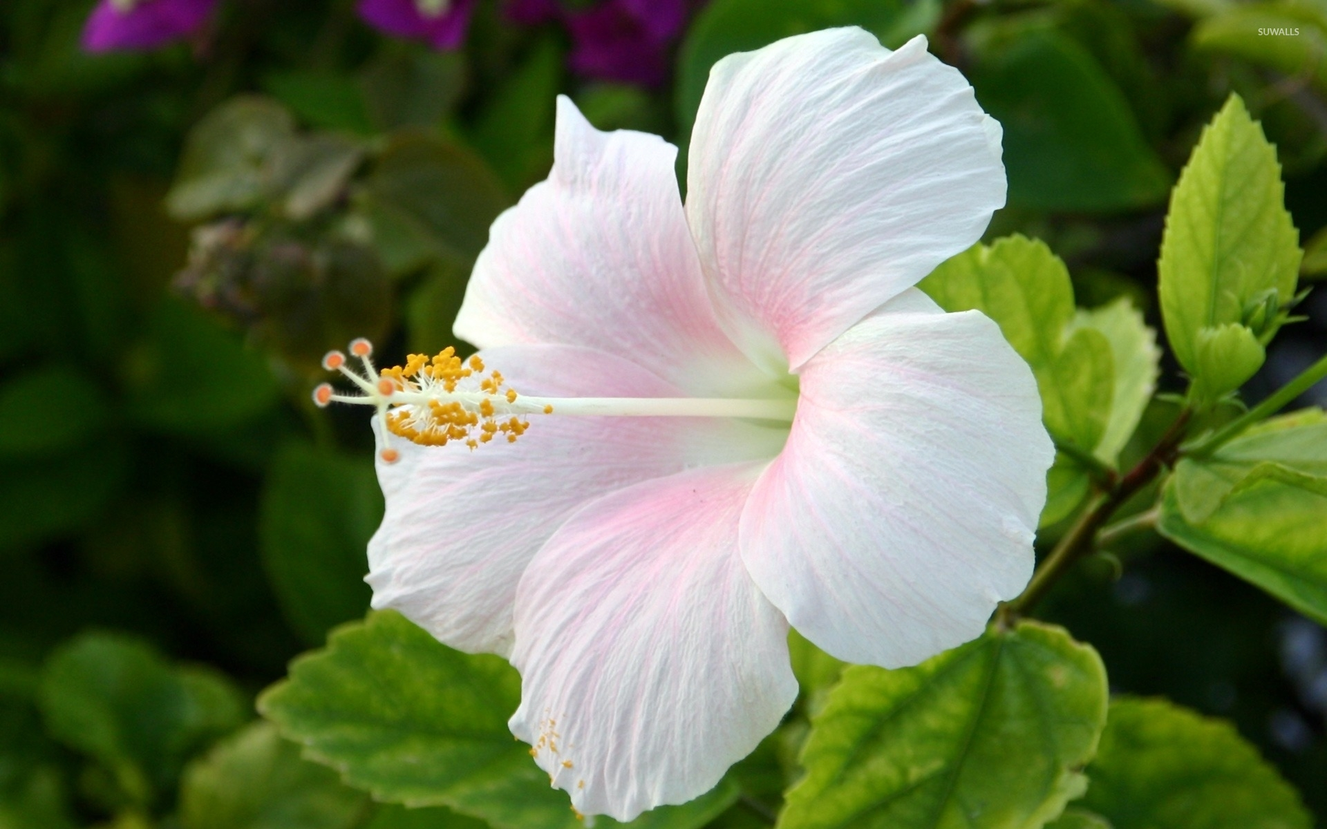 white hibiscus wallpaper - flower wallpapers - #3260