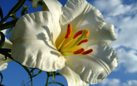 White lily [2] wallpaper 2560x1600 jpg