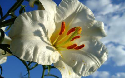 White lily [2] wallpaper