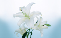 White Lily wallpaper 1920x1200 jpg