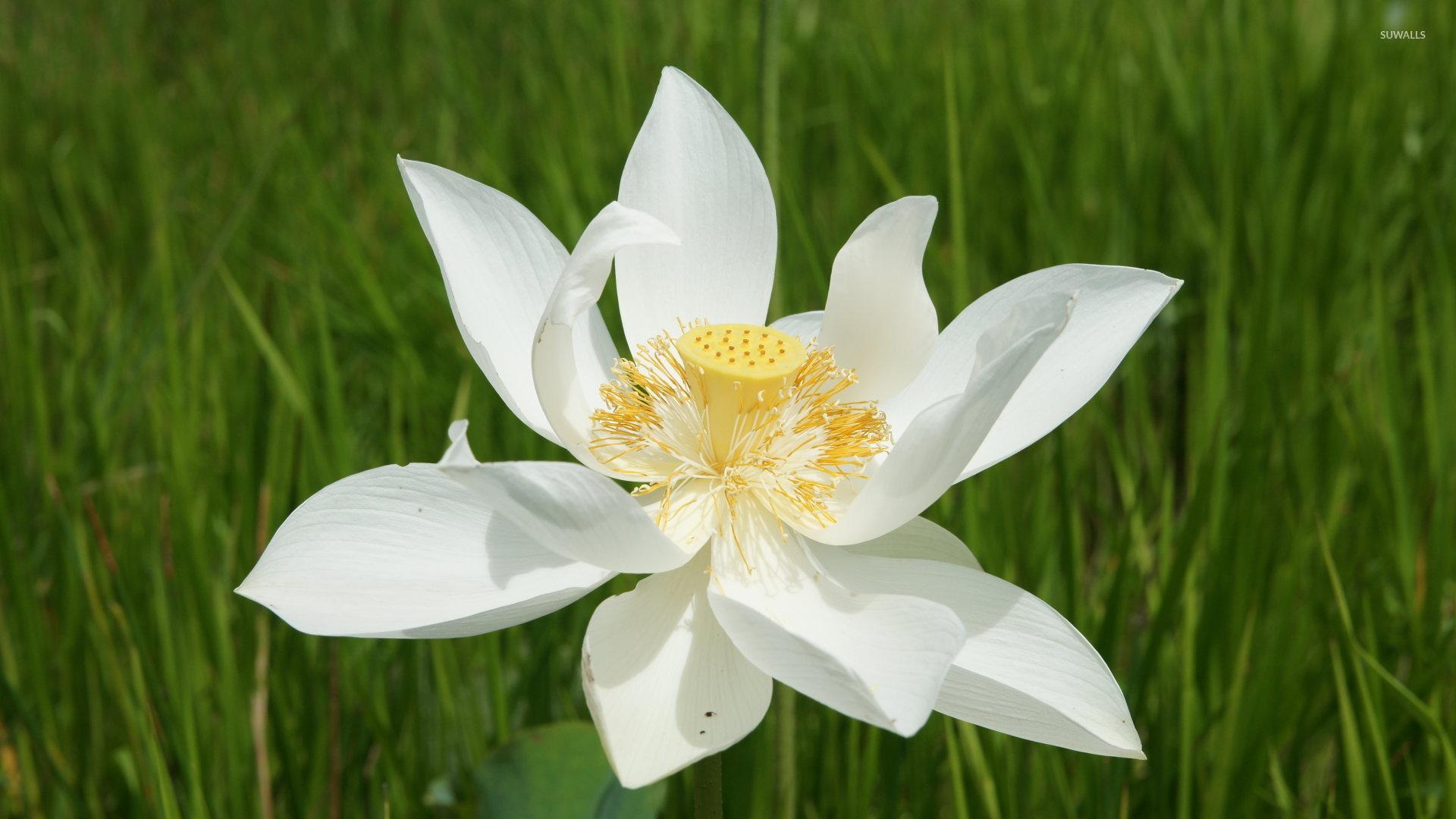 White lotus wallpaper flower wallpapers 172 white lotus wallpaper izmirmasajfo