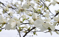 White magnolia blossoms wallpaper 3840x2160 jpg