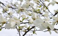 White magnolia blossoms wallpaper 3840x2160 jpg