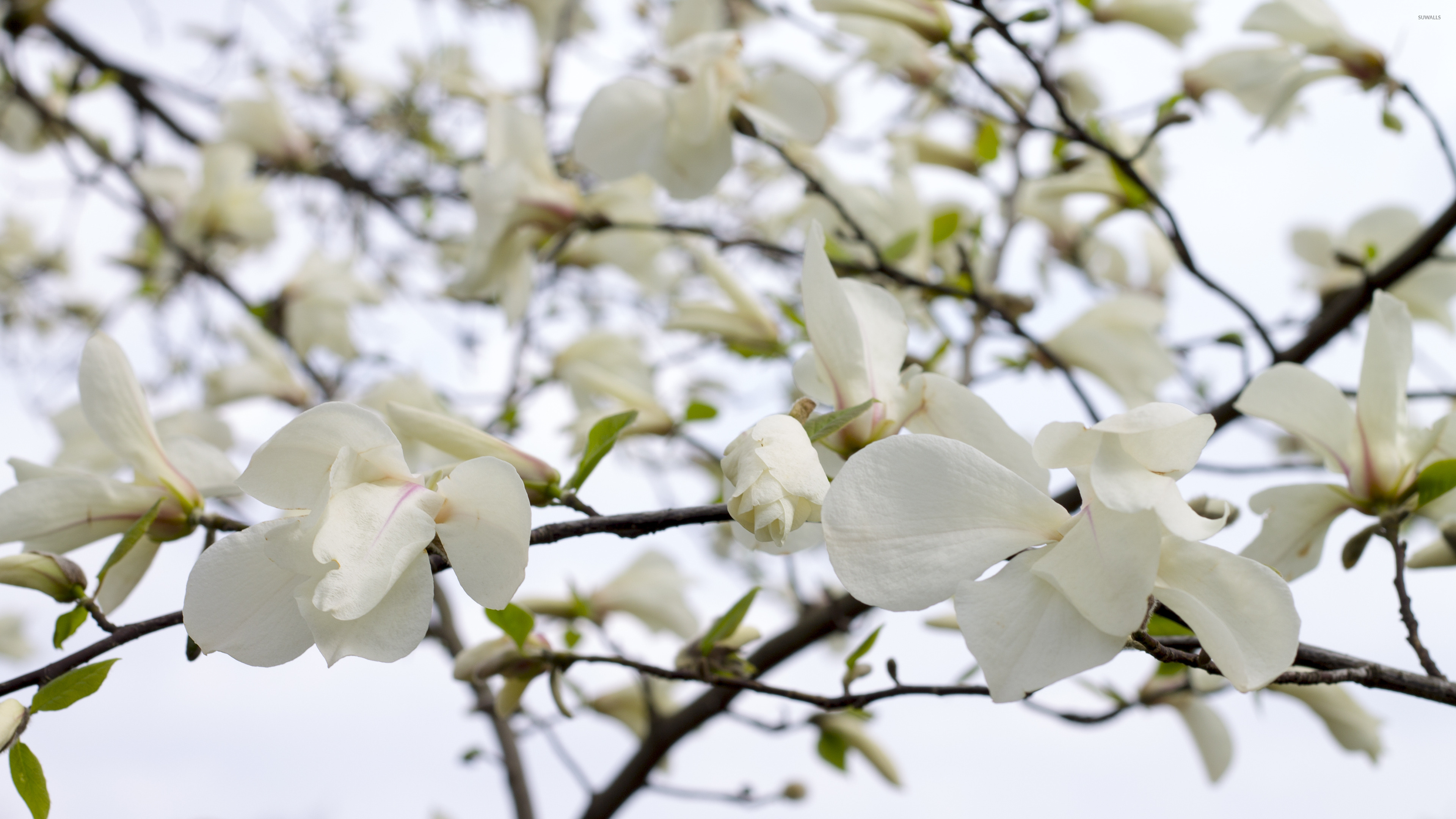 White Magnolia Blossoms Wallpaper Flower Wallpapers 42085