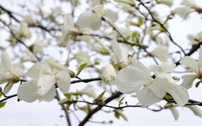 White magnolia blossoms wallpaper