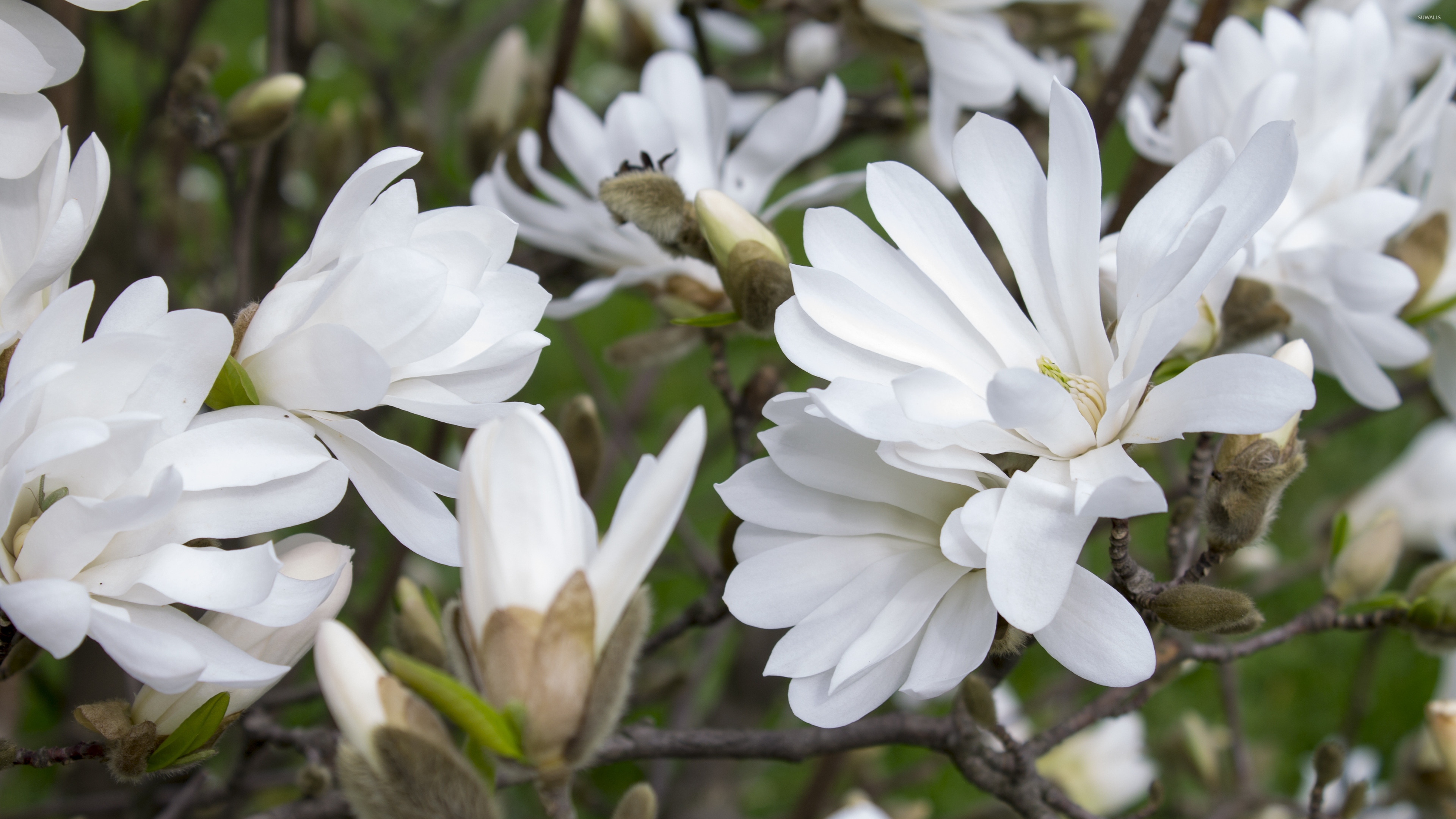 white magnolias wallpaper flower wallpapers 42086