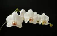White Orchid wallpaper 1920x1200 jpg